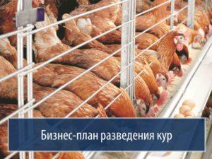 Бизнес на куриных яцах: бизнес план с расчетами отзывы