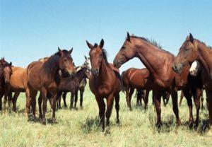 Разведение лошадей на мясо как бизнес: план с расчетами