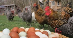 Разведение кур несушек на яйца в домашних условиях как бизнес