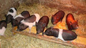 Разведение вьетнамских свиней в домашних условиях как бизнес: видео-инструкция