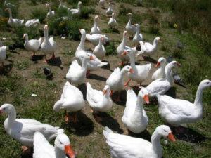 Разведение гусей в домашних условиях как выгодная идея для бизнеса