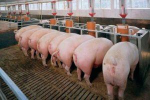 Разведение свиней как бизнес: с чего начать и как преуспеть