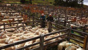 Овцеводство — идея прибыльного бизнеса для начинающего фермера