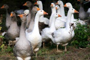 Разведение гусей как бизнес: выгодно или нет, расчеты