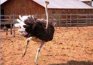 Разведение страусов как бизнес. Советы для начинающих