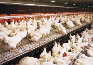 Продажа куриных яиц как успешный бизнес