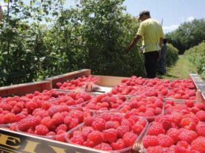 Выращивание малины как бизнес в домашних условиях + бизнес план
