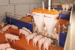 Бизнес по выращиванию свиней в домашних условиях