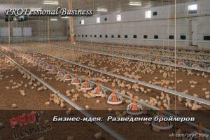 Выращивание бройлеров в домашних условиях: бизнес-план