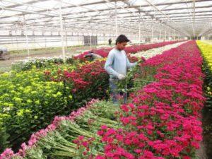 Выращивание цветов в теплице как бизнес: Разведение цветов на продажу