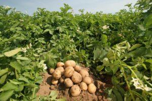 Выращивание картофеля как бизнес: отзывы