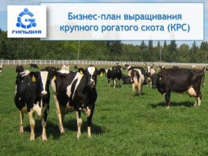 Бизнес-план по разведению крупного рогатого скота
