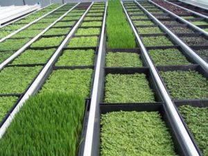 Выращивание зелени в теплице как бизнес в домашних условиях + бизнес-план