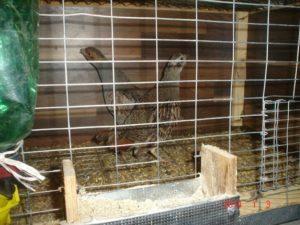 Разведение фазанов в домашних условиях как бизнес: видео-обзор