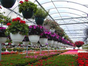 Выращивание цветов в теплице как бизнес в домашних условиях