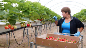 Бизнес-план по выращиванию малины: создание компании с нуля