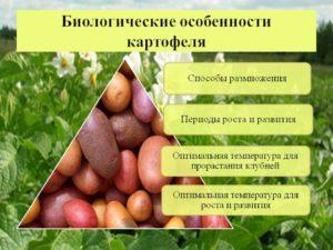 Бизнес на картофеле: особенности и перспективы развития