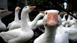 Разведение гусей как бизнес: с чего начать и как преуспеть