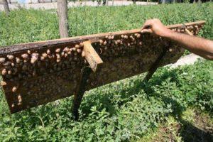 Разведение виноградных улиток в домашних условиях как бизнес