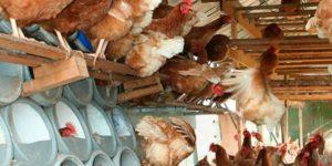 Птицеводство в домашних условиях: куры-несушки индюки видео организации бизнеса